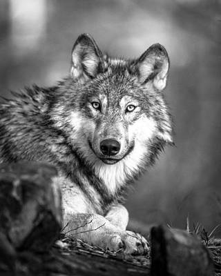 Royalty-Free and Rights-Managed Images - Nature Animal Wolf Wilderness by Celestial Images