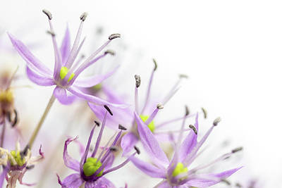 Keith Richards - Nature background of Allium Flower ready for your use. by Jaroslav Frank