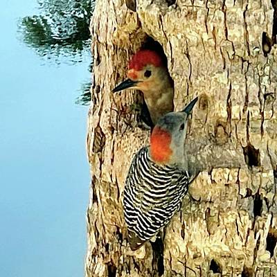 Animals Photos - Nesting Begins for the Red Bellied Woodpecker Pair  by Barbie Corbett-Newmin