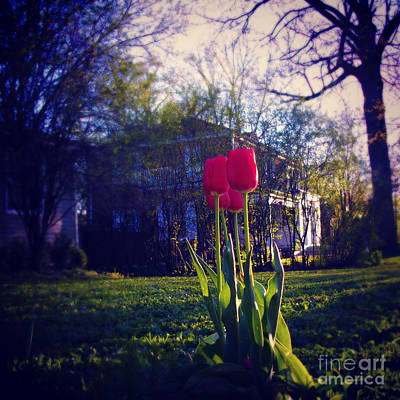 Frank J Casella Royalty-Free and Rights-Managed Images - New Spring Tulips - Square by Frank J Casella
