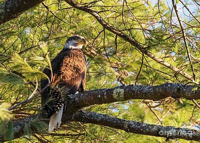 Hollywood Style - Newbie Eagle on the Androscoggin River by Jan Mulherin