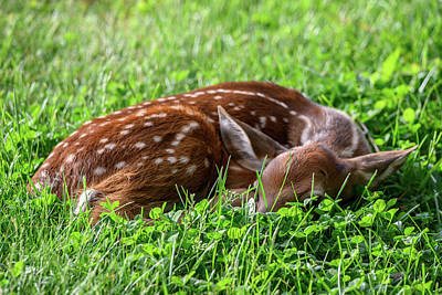 Photograph - Newborn Whitetail Deer Fawn Resting In Grass Field by Ray Sheley