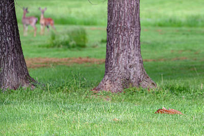 Photograph - Newborn Whitetail Deer Fawn Resting In Grass Field With Does In Background by Ray Sheley