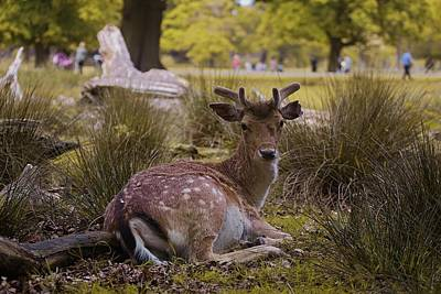 City Scenes - Nice Deer Resting At Dunham Massey by Watto Photos