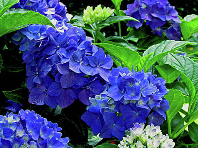 Design Pics - No Stranger Hydrangea by Gardening Perfection