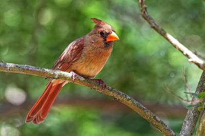 Achieving - Northern Cardinal Female by Fon Denton