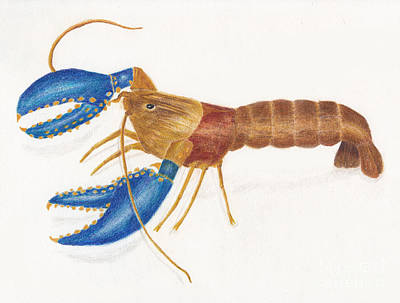 Drawings Royalty Free Images - Northern Crayfish AKA Small Dragon Shrimp 2 Royalty-Free Image by Conni Schaftenaar