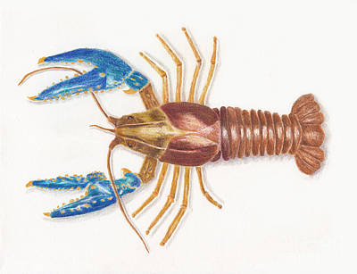 Drawings Royalty Free Images - Northern Crayfish AKA Small Dragon Shrimp Royalty-Free Image by Conni Schaftenaar