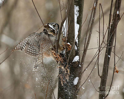 Birds Rights Managed Images - Northern Hawk Owl cache retrieval  Royalty-Free Image by Heather King