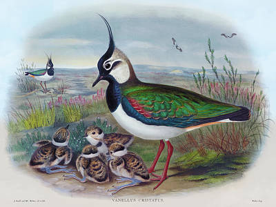 Painting - Northern Lapwing, Lapwing Vanellus cristatus Bird Print by HC Richter, Birds of Great Britain  by HC Richter