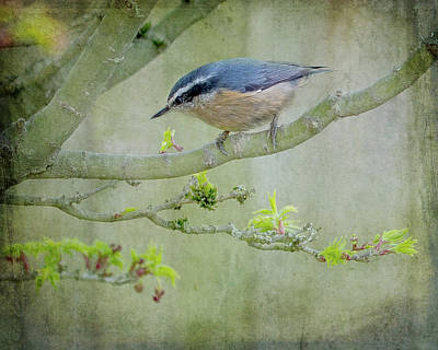 Abstract Graphics Rights Managed Images - Nuthatch in a Tree Royalty-Free Image by Rebecca Cozart