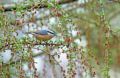 Animals Royalty-Free and Rights-Managed Images - Nuthatch In The Tamarack by Debbie Oppermann