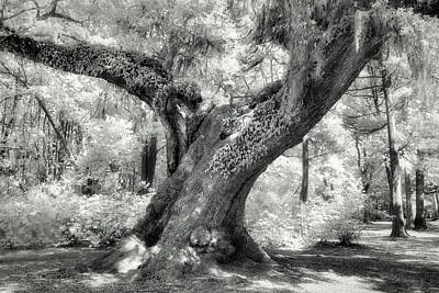 Animal Paintings David Stribbling - Oak in Infrared by Jerry Fornarotto
