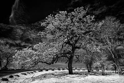 Everett Collection - Oak Near Bastrop by Norman Gabitzsch
