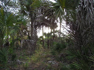 Photograph - Okaloacoochee Slough State Forest Cabbage Palm Trees by Ian Sands