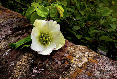 Rights Managed Images - Old City Cemetery Lenten Rose Royalty-Free Image by Norma Brandsberg