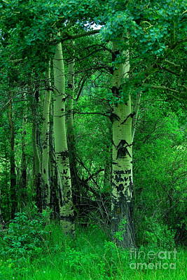Royalty-Free and Rights-Managed Images - Old writings on aspens by Jeff Swan