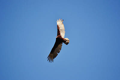 Animals Photos - On A Clear Day You Can See - A Turkey Vulture by Gaby Ethington