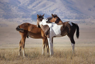 Photograph - Onaqui Wild Colt and Filly by Barbara Sophia Travels