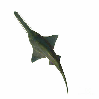 Have A Cupcake - Onchopristis Sawfish Overview by Corey Ford