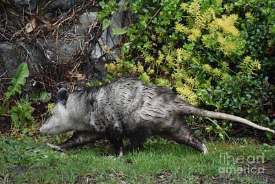 Photograph - Opossum Heading Home by Rose De Dan