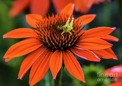 Vintage Baseball Players - Orange Coneflower And The Baby Grasshopper by Cindy Treger
