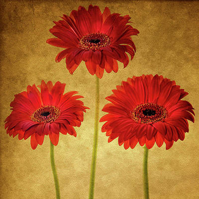Royalty-Free and Rights-Managed Images - Orange Gerbera Daisies by Rebecca Cozart