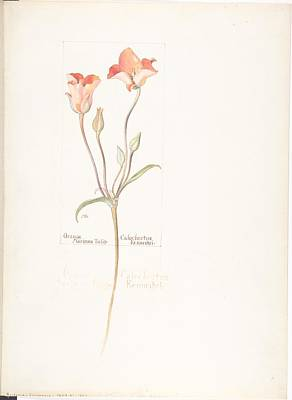 Travel - Orange Mariposa Tulip Calochortus Kennedyi Margaret Neilson Armstrong American New York 1867 1944 Ne by Artistic Rifki