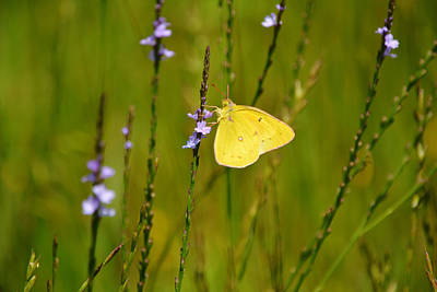 Animals Photos - Orange Sulphur Butterfly on Blue Wild Flowers by Gaby Ethington