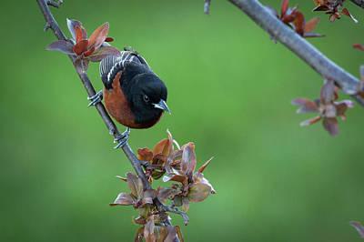 Photograph - Orchard Oriole  by Ricky L Jones