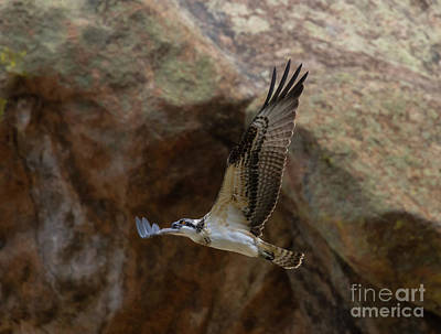 Steven Krull Royalty-Free and Rights-Managed Images - Osprey and the Cliffs of Eleven Mile Canyon Colorado by Steven Krull