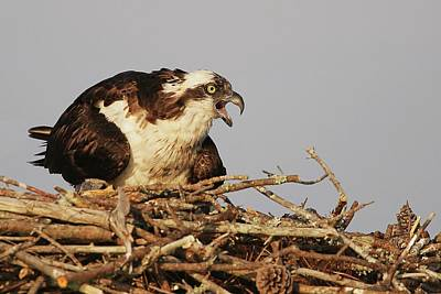 Lori A Cash Royalty-Free and Rights-Managed Images - Osprey at Nest by Lori A Cash