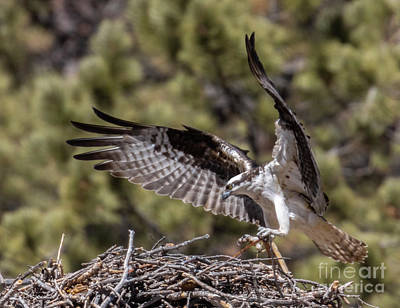 Steven Krull Royalty-Free and Rights-Managed Images - Osprey Bringing a Stick by Steven Krull