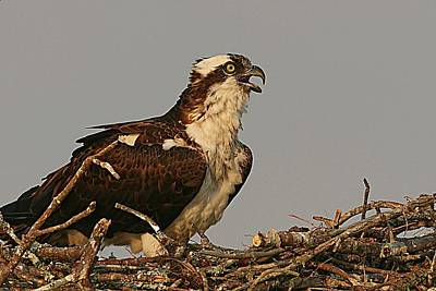 Lori A Cash Royalty-Free and Rights-Managed Images - Osprey Calling by Lori A Cash