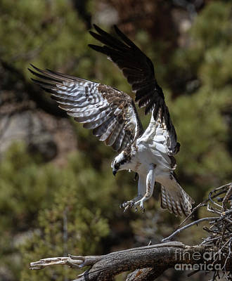 Steven Krull Royalty-Free and Rights-Managed Images - Osprey Coming In by Steven Krull
