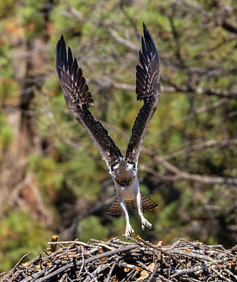 Steven Krull Royalty-Free and Rights-Managed Images - Osprey Flight in Eleven Mile Canyon Colorado by Steven Krull