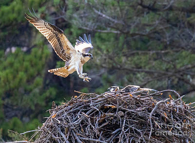 Steven Krull Royalty-Free and Rights-Managed Images - Osprey Gathering by Steven Krull