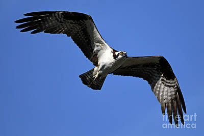 Royalty-Free and Rights-Managed Images - Osprey Glide by Mike Dawson