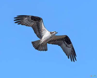 Photograph - Osprey in Flight DRB0282 by Gerry Gantt