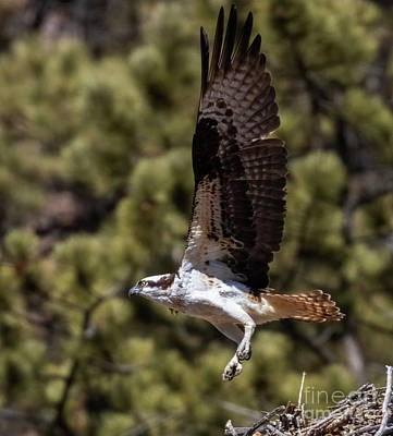 Steven Krull Royalty-Free and Rights-Managed Images - Osprey Leaving the Nest by Steven Krull