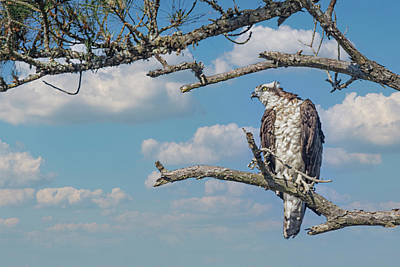 Animals Photos - Osprey Perched in a Pine Tree Along the Tideland Trail in the Cr by Bob Decker