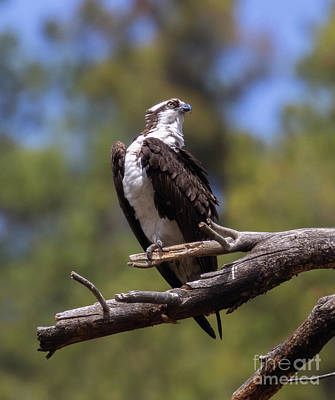 Steven Krull Royalty-Free and Rights-Managed Images - Osprey Portrait by Steven Krull