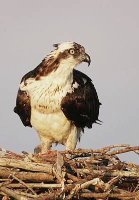 Lori A Cash Royalty-Free and Rights-Managed Images - Osprey Standing on Nest by Lori A Cash