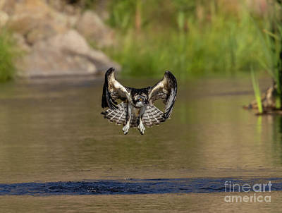 Steven Krull Royalty-Free and Rights-Managed Images - Osprey Winging over the South Platte by Steven Krull
