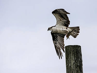 Lori A Cash Royalty-Free and Rights-Managed Images - Osprey with Fish Taking Off by Lori A Cash