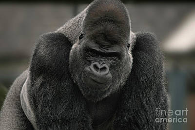 Wild And Wacky Portraits Rights Managed Images - Oumbi The Silverback Gorillas Smirk Royalty-Free Image by Rawshutterbug