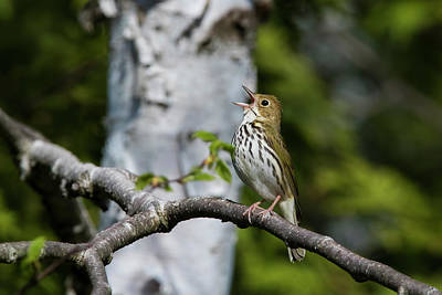 Chris Walter Rock N Roll - Ovenbird by Mircea Costina Photography