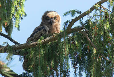 American West - Owl Baby by Judd Nathan
