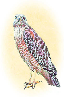 Animals Royalty-Free and Rights-Managed Images - Painted Hawk by Diann Fisher