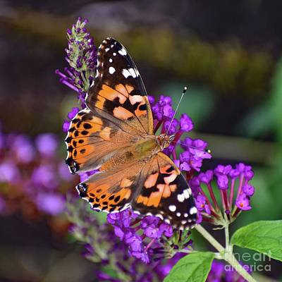 Marvelous Marble - Painted Lady Living Up To Its Name by Cindy Treger